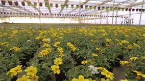 H?rliga blommande blommor i ett modernt v?xthus, v?xande blommor p? en industriell skala, modernt v?xthus lager videofilmer
