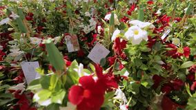 H?rliga blommande blommor i ett modernt v?xthus, v?xande blommor p? en industriell skala, modernt v?xthus stock video
