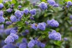 H?rliga blommande purpurf?rgade kaliforniska lila blommor, Ceanothus thyrsiflorusrepens i v?rtr?dg?rd arkivfoto
