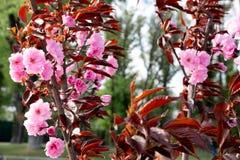 H?rliga blommande v?rtr?d i vinden Fotoet av blomningtr?d i parkerar Delikata rosa blommor p? tr?den arkivbild