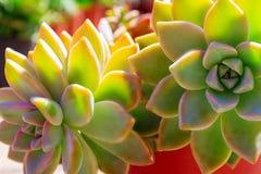 H?rliga blommor f?r Closeup tv? av den suckulenta kaktuns, texturecheveria arkivfoto