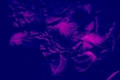 H?rliga closeuptexturer g?r sammandrag de svarta fallande fj?drarna, och purpurf?rgad f?rg isolerade den v?ggbakgrund och modelle arkivbild