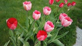 H?rliga f?rgrika r?da tulpanblommor blommar i v?rtr?dg?rd Dekorativ tulpanblommablomning i v?r lager videofilmer