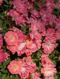 H?rliga rosa rosor som blommar i tr?dg?rden royaltyfri bild