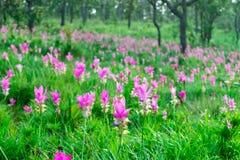 H?rliga Siam Tulip arkivbilder