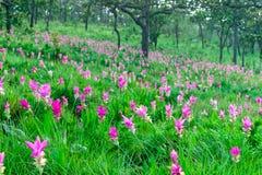 H?rliga Siam Tulip royaltyfri foto