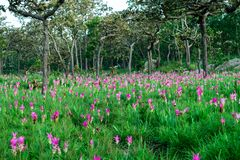 H?rliga Siam Tulip royaltyfri bild