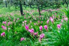 H?rliga Siam Tulip royaltyfria foton