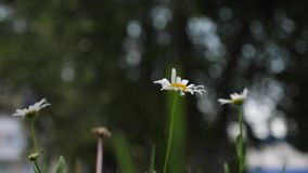 H?rliga tusensk?nor blommar i sommar p? gr?smatta Blommaaff?rsid? closeup blommor f?r vit tusensk?na dinglar i vind lager videofilmer