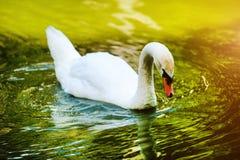 H?rliga unga svanar i sj?n fotografering för bildbyråer
