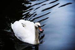 H?rliga unga svanar i sj?n royaltyfri foto