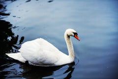 H?rliga unga svanar i sj?n royaltyfria bilder