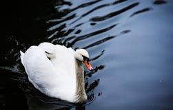 H?rliga unga svanar i sj?n royaltyfri fotografi