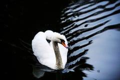H?rliga unga svanar i sj?n royaltyfria foton