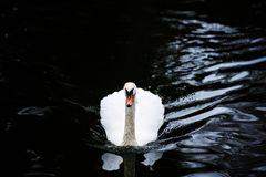 H?rliga unga svanar i sj?n royaltyfri bild