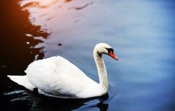 H?rliga unga svanar i sj?n arkivbilder