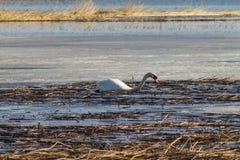 H?rliga vita bad f?r en svan i sj?n som t?ckas delvist med is p? en solig v?rdag royaltyfri foto