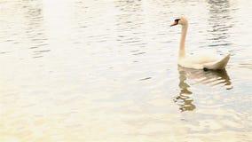 H?rliga vita svanbad p? sj?n p? v?ren HD 1920x1080 lager videofilmer