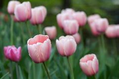 H?rligt blekt - rosa tulpan som p? v?ren blommar, parkerar fotografering för bildbyråer