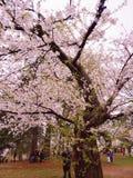 h?rligt blomningCherry royaltyfri foto