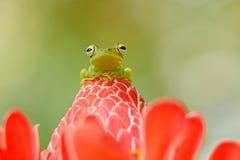 H?rligt djur i djungel, exotiskt djur fr?n Sydamerika Hypsiboas rufitelus, Röd-simhudsförsedd trädgroda, metallisk amfibie med rö royaltyfria foton