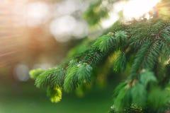 h?rligt naturligt f?r bakgrund Sommar v?rbegrepp Nya fluffiga granfilialer arkivfoton