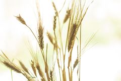 H?rligt natursolnedg?nglandskap ?ron av det guld- veteslutet upp Lantlig plats under solljus arkivbilder