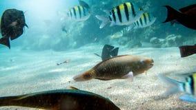 H?rligt undervattens- foto av massor av f?rgrika korallfiskar som simmar runt om d?d corel i R?da havet arkivfoto