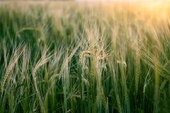 H?rligt vetef?lt i sommar p? solnedg?ngen mot bakgrund field bl?a oklarheter f?r gr?n vitt wispy natursky f?r gr?s royaltyfri bild