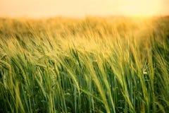 H?rligt vetef?lt i sommar p? solnedg?ngen mot bakgrund field bl?a oklarheter f?r gr?n vitt wispy natursky f?r gr?s arkivfoto