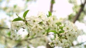 H?rligt vitt blommigt frukttr?d under en bl? himmel i v?r blomma treen K?rsb?rsr?da blomningar stock video