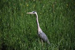 H?ron dans la chasse ?lev?e d'herbe pour la nourriture en parc dans le repaire aan IJssel de Nieuwerkerk dans Zuidplas images libres de droits