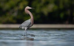 Héron rougeâtre en Floride images libres de droits