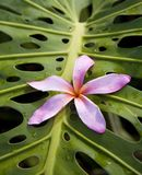 H46 Pink Plumeria on Monstera. A single pink plumeria flower rests on a giant monstera leaf after a light rain royalty free stock images