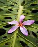 H46 Roze Plumeria op Monstera Royalty-vrije Stock Afbeeldingen