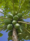 H56 Papaya Bunch. A ripe bunch of green papaya hang from the tree under a blue North Shore sky Royalty Free Stock Image