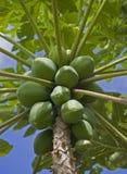 H56 Papaya Bunch. A ripe bunch of green papaya hang from the tree under a blue North Shore sky royalty free stock image