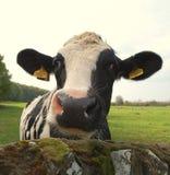 hałaśliwa krowa. Zdjęcia Stock