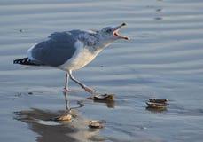 Hałaśliwie seagull Zdjęcia Stock