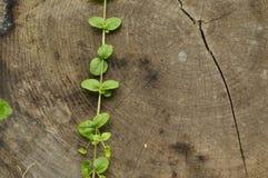 Ha abbattuto il tronco Barattoli di scalata delle foglie della pianta e dell'albero delicata contro il tronco Fotografie Stock Libere da Diritti