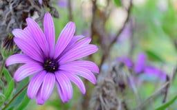 Ha dato una occhiata ad una viola isolata del fiore Fotografia Stock Libera da Diritti