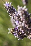 Ha detto l'ape: dopo questo fiore vado sulla vacanza Fotografie Stock Libere da Diritti