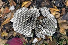 Ha distrutto il nido di una vespa Fotografia Stock