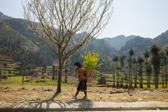 Ha Giang, Vietnam - Feb 14, 2016: Mountain spring scenery with blossoming plum tree, Hmong little girl carrying cabbage flower on. Her back, and mountain on Royalty Free Stock Image
