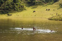 Ha Giang, Vietnam - Sep 22, 2013: Vietnamese rural scene, with children swimming on the lake and water buffaloes eating grass on b. Eyond hill Stock Images