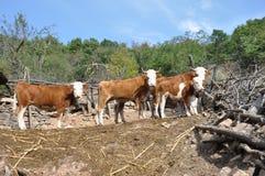 Ha guidato delle mucche, azienda agricola immagini stock libere da diritti