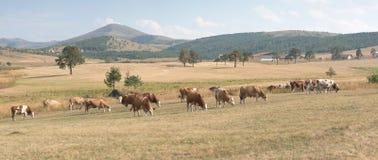 Ha guidato delle mucche su un prato Fotografia Stock Libera da Diritti