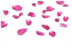 Ha offuscato una corolla rosa rosa dolce immagine stock libera da diritti