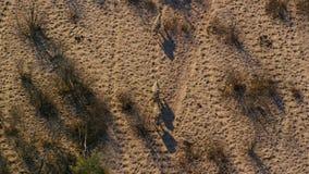 A ha sentito parlare le zebre attraversa la savanna come visto dalla vista aerea immagine stock libera da diritti