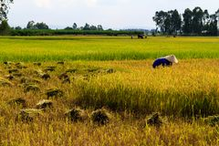 Vietnamese farmer working in the rice fields. stock photography